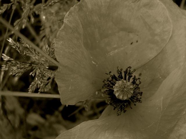 poppy grief poem